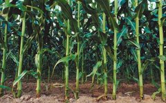 Ideal Climate & Soil for Corn Growth