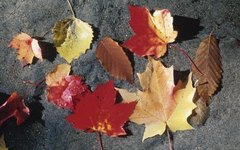 About Variegated Maple Trees