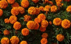 How to Plant Marigolds in Vegetable Gardens