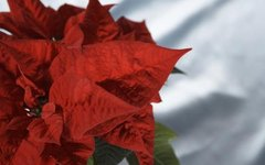 How to Make a Poinsettia's Leaves Turn Red