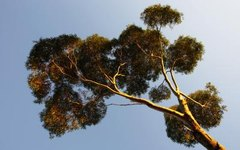 Zones for Eucalyptus Trees