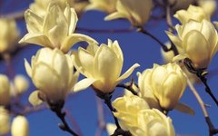 About Magnolia Yellow Butterflies