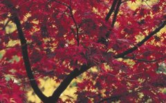 Facts About the October Glory Maple Tree