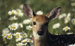 How to Use Soap to Keep Deer Away