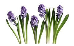 How to Grow a Hyacinth in a Pot