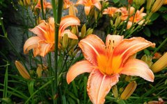 The Difference Between Asiatic Lilies and Daylilies