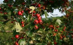 The Harvesting of Hollyleaf Cherries