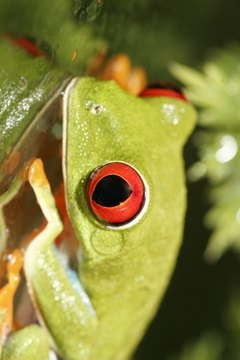 Red-eyed tree frogs live in the rainforests of Central America.