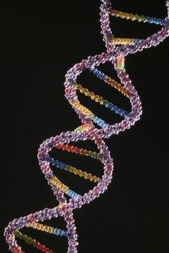 Human DNA contains 23 chromosome pairs that determine physical traits.