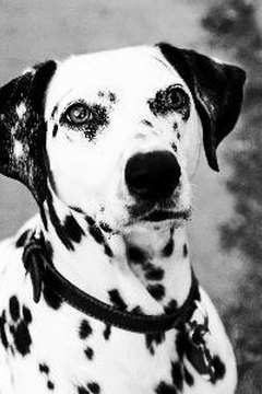 Dalmatians are the most famously deafness-prone dogs.