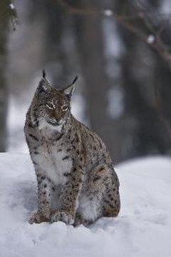 its North American counterpart, the Canadian lynx, the Eurasian lynx, a critical loss