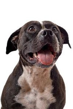 A pit bull's coat is one measure of overall health.