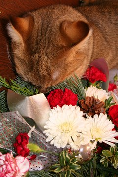 Some cats are more sensitive than others to chrysanthemums.