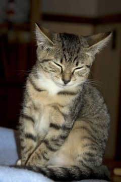 This kitten displays the distinctive marks of one pattern of tabby coat.