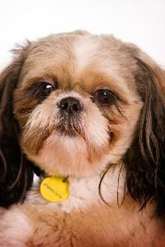 The Shih Tzu was bred as a companion dog.
