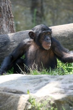 4 Surprising Ways That Chimpanzees And Boos Show The Decline Of