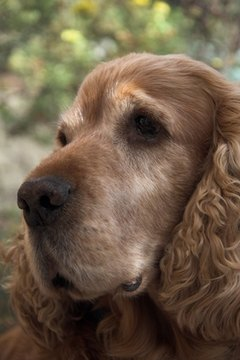 The spaniel ancestors of modern cockers have been around for centuries.