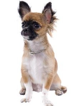 Chihuahuas may live up to twice as long as many large-breed dogs.