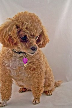 Eye problems are a primary health issue for poodles.