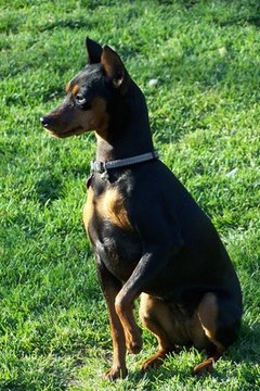 The miniature pinscher on the alert.