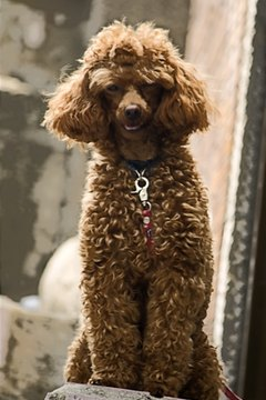 Like all breeds, poodles are susceptible to some genetic health problems.