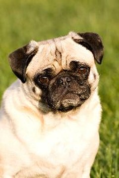 A pug's short airway puts him at extra risk of respiratory diseases.