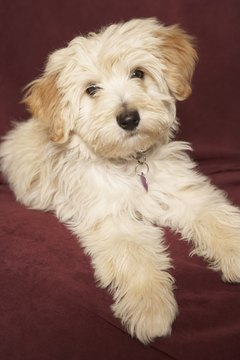 A Havanese puppy is full grown by 18 months of age.