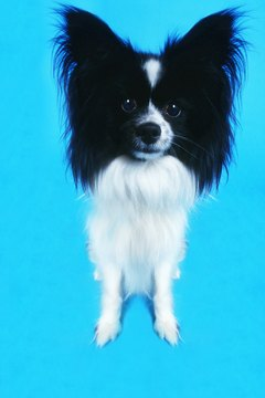 Is a long-haired Chihuahua right for you?