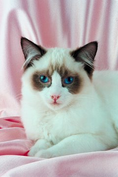 """I understand the confusion, but I am a ragdoll, not a Birman."""