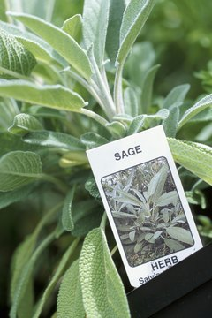 Sage leaves are used in cooking, ceremony and herbal medicine.