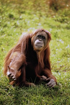 Orangutans, rainforest dwellers, Asia