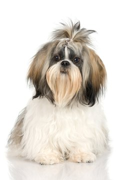 Shih Tzus are on the list of allergy-prone dog breeds.