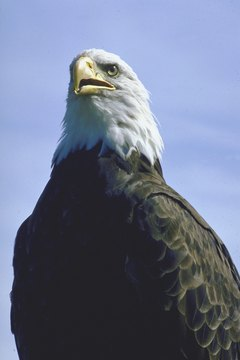 The bald eagle has been America's national symbol since 1782.