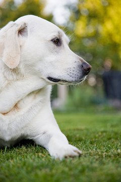 Labradors love people, and they sometimes experience separation anxiety when they are alone.