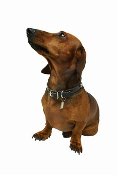 A smelly dachshund often requires vet attention.