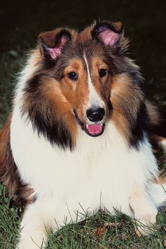 Most people picture the sable-colored dog, similar to Lassie, when they picture a rough collie.