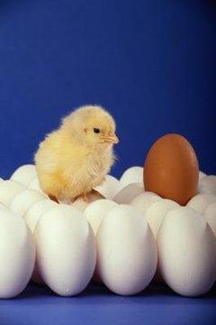 How Do Eggs Form Inside a Chicken? | Animals - mom.me