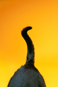 Cats' tails can convey a variety of moods.