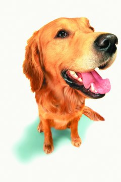 Golden retrievers are prone to a number of eye conditions.