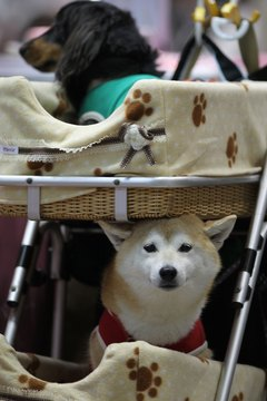 Don't be embarassed over Shiba Inu shedding.