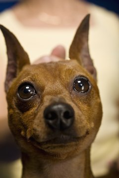 Miniature pinscher puppies often get demodectic mange from their mothers shortly after birth.