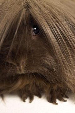 Types of guinea pig breeds animals mom types of guinea pig breeds by amy brantley michael blanndigital visiongetty images sciox Gallery