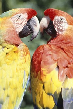 Macaws show off their impressive, colorful plumage.