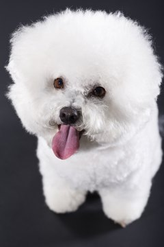 While troubling, most of the rare neurological problems occurring in bichons don't cause pain.