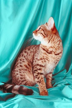 Bengal cats trace their ancestry to a mix of wild and domestic felines.