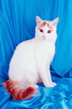 The Turkish Van is a bigger cat than the Turkish Angora.