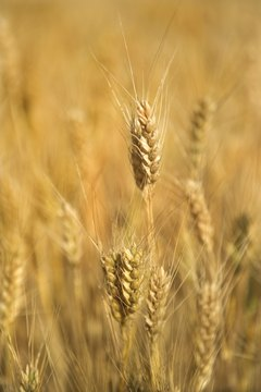 Gluten-free food contains no wheat or wheat products.