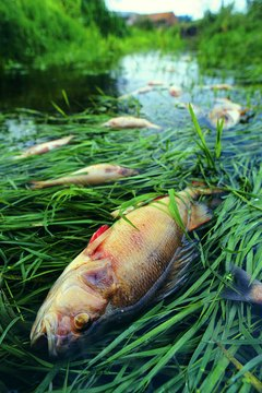 Dead fish resulting from incident at Sewage Works,UK