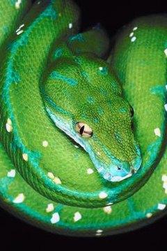 Green Tree Python Care Sheet