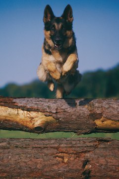 The German shepherd dog is America's iconic model of heroism.